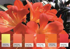 Die Blüte der Klivie vereint in sich einige der aktuellen Pantone-Trendfarben. (Foto: Deifel)