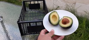 Von Mexiko in die Welt: Kunststoffkisten für die Hass Avocados. (Foto: KraussMaffei)